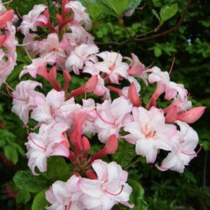 Азалия Cornellia