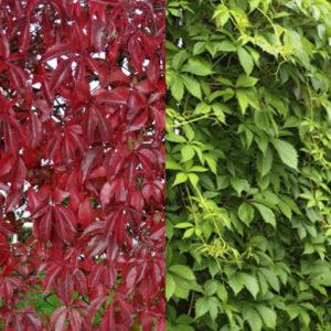 Девичий-виноград-Parthenocissus-quinquefolia