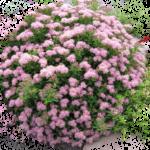 Категория Декоративные кустарники