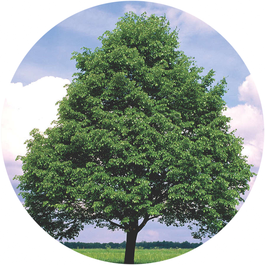 Категория Деревья