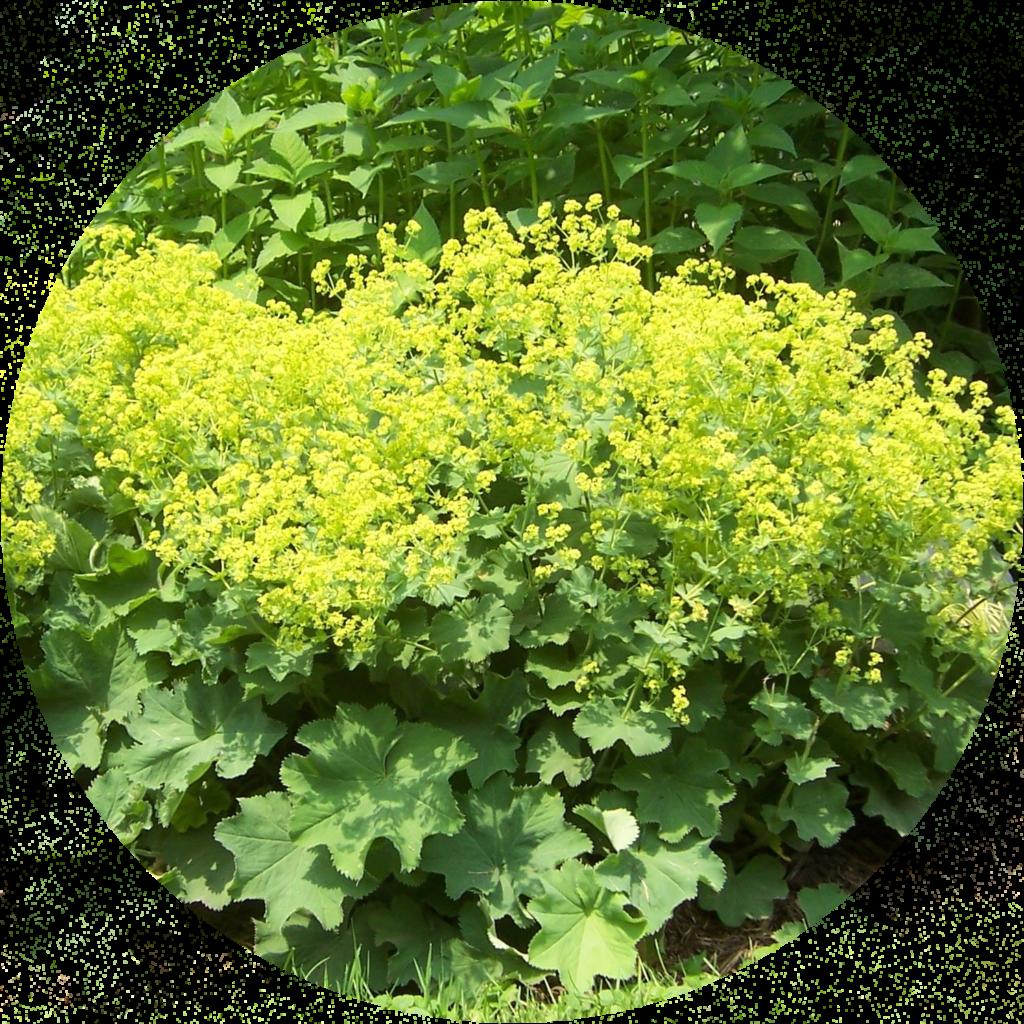 Многолетние травянистые