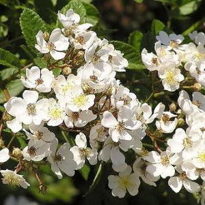 Роза-многоцветковая