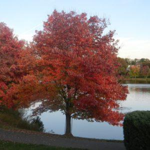 Клён красный Ред Сансет (Acer rubrum Red Sanset)