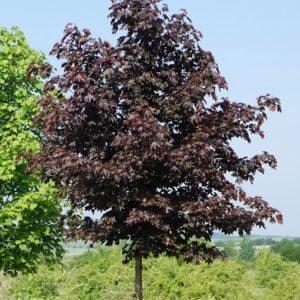 """Клен остролистный """"Роял Ред"""" (Acer platanoides 'Royal Red')"""