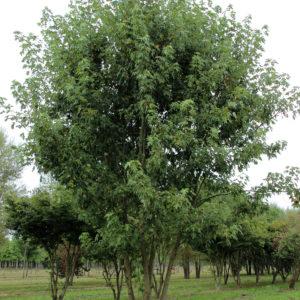 "Клен сахаристый (серебристый) ""Лациниатум Виери"" (Acer saccharinum 'Laciniatum Wieri')"